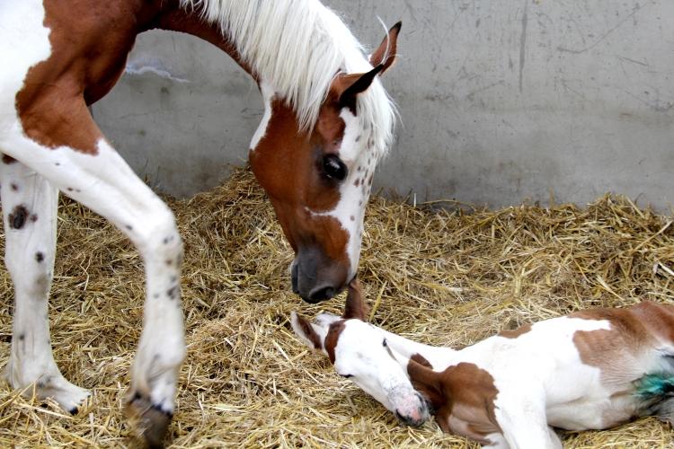 Flamboyant V Morinda - Flamboyant foal, naissance à 8 jours