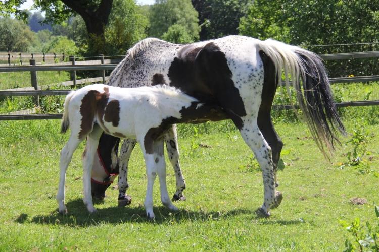 Triskèle Morinda - Triskèle foal en 2015, 2 et 3 mois
