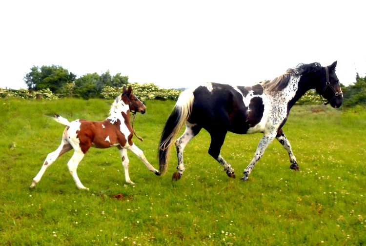 Cantor Morinda - Cantor foal, 2014